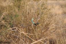 IMG 7671-Kenyan bird at Tsavo East